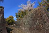 熊本城の桜 飯田丸の石垣