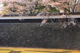 熊本城 長塀の散桜