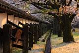 熊本城の桜 竹の丸からの長塀