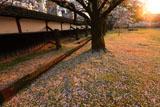 熊本城の桜 竹の丸からの夕陽