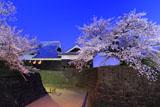 熊本城の桜 宵の本丸御殿