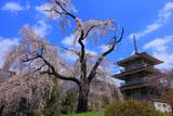 枝垂れ桜と淨専寺三重塔