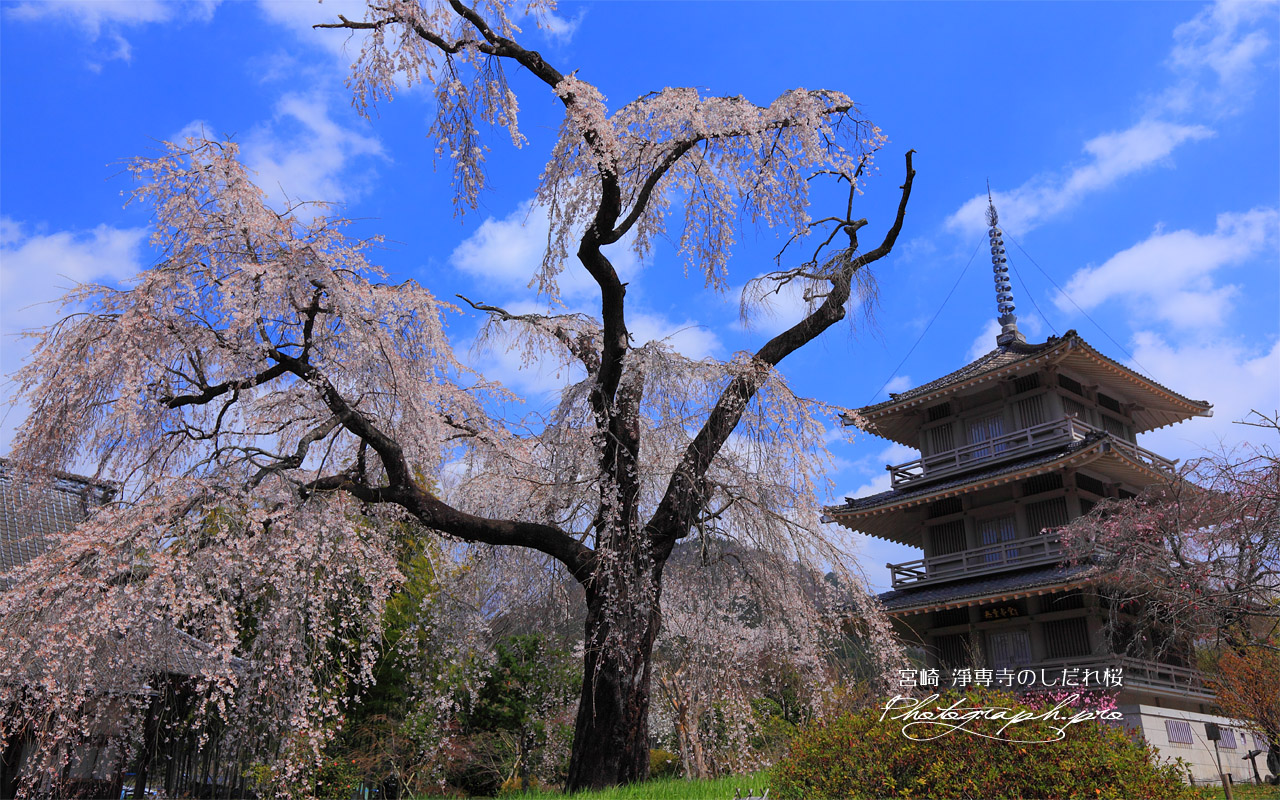 枝垂れ桜と淨専寺三重塔 壁紙
