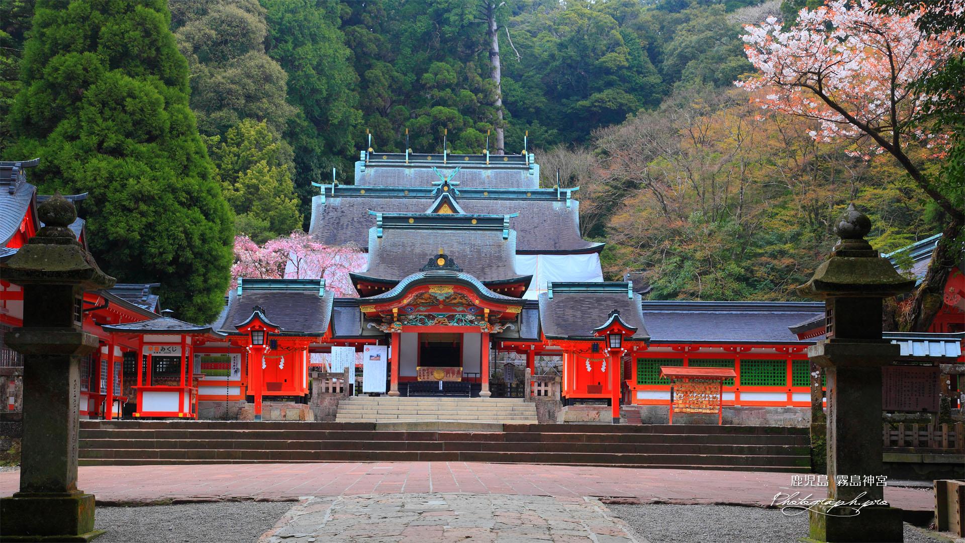 霧島神宮の山桜と枝垂れ桜