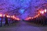 忠元公園の夜桜