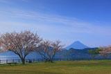 桜咲く池田湖畔からの開聞岳