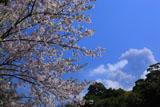 桜島の噴煙と桜