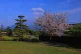仙巌園の桜と桜島の噴煙