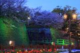 鶴丸城の桜 石垣ライトアップ