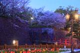 鶴丸城の桜 色の変わるライトアップ