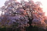 朝陽を浴びた浅井の一本桜