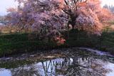 浅井の一本桜 花筏