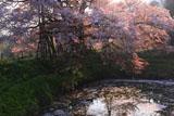 朝陽に透ける浅井の一本桜