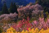 レンギョウとハナモモと浅井の一本桜