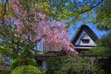 新緑と柿右衛門窯のしだれ桜