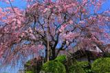 柿右衛門窯の枝垂桜