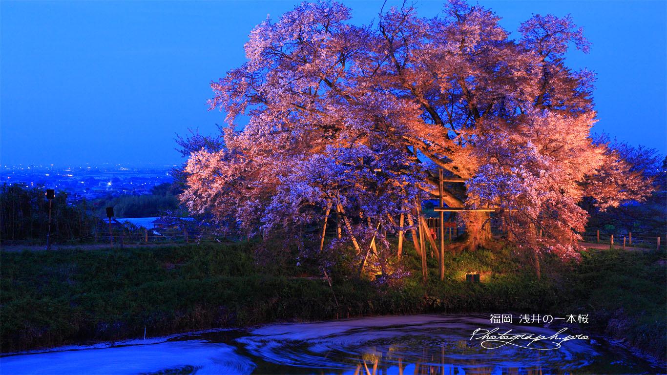 浅井の一本桜ライトアップ 壁紙