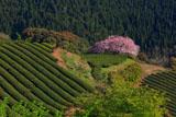 茶畑と遠山桜