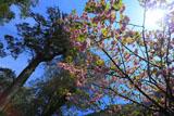 五木村の八重桜