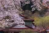 五木五家荘の桜