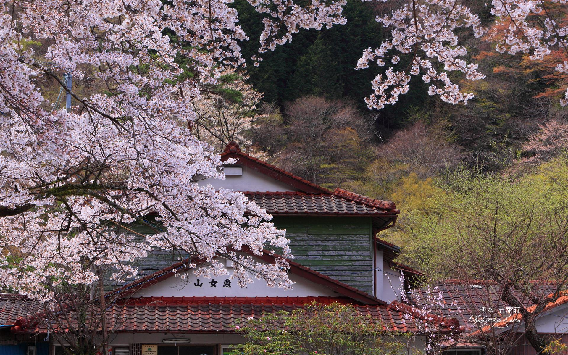 五家荘 山女魚荘の桜