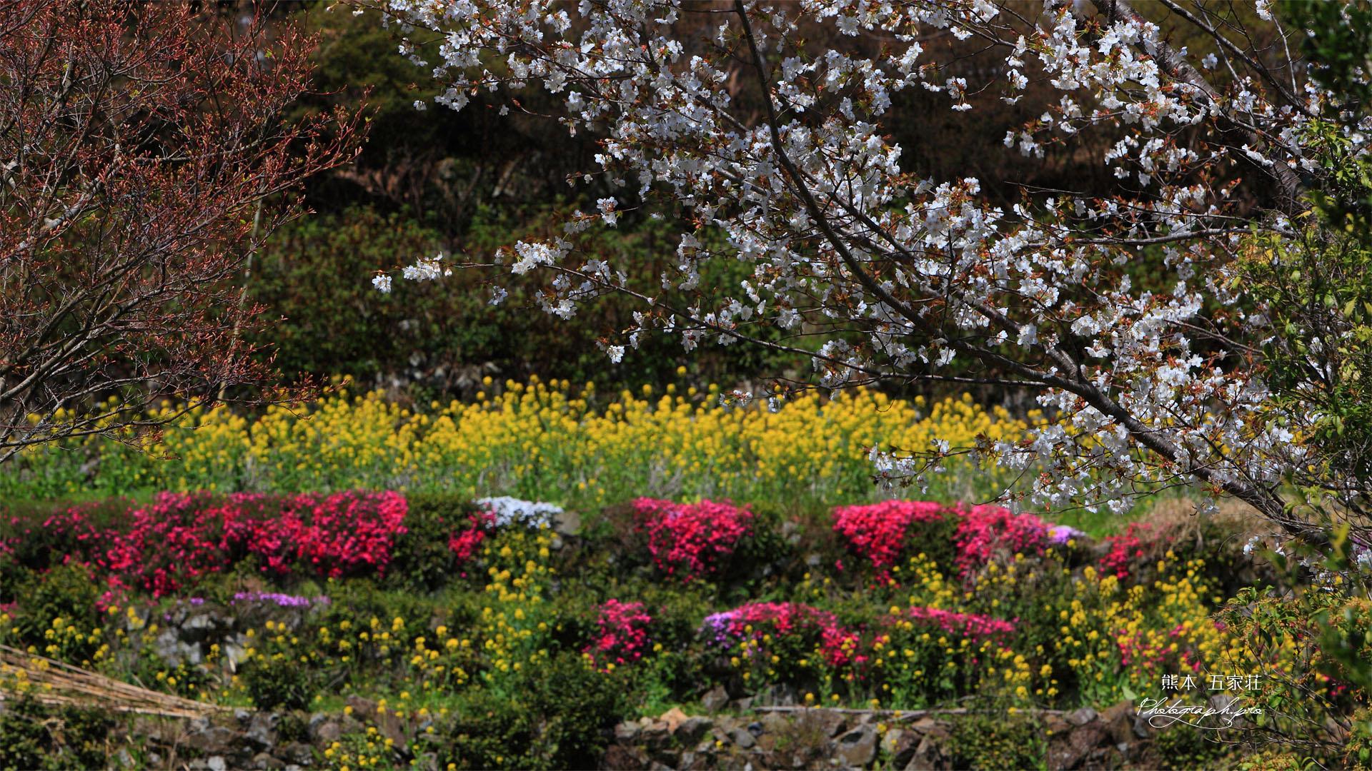 山桜に芝桜と菜の花