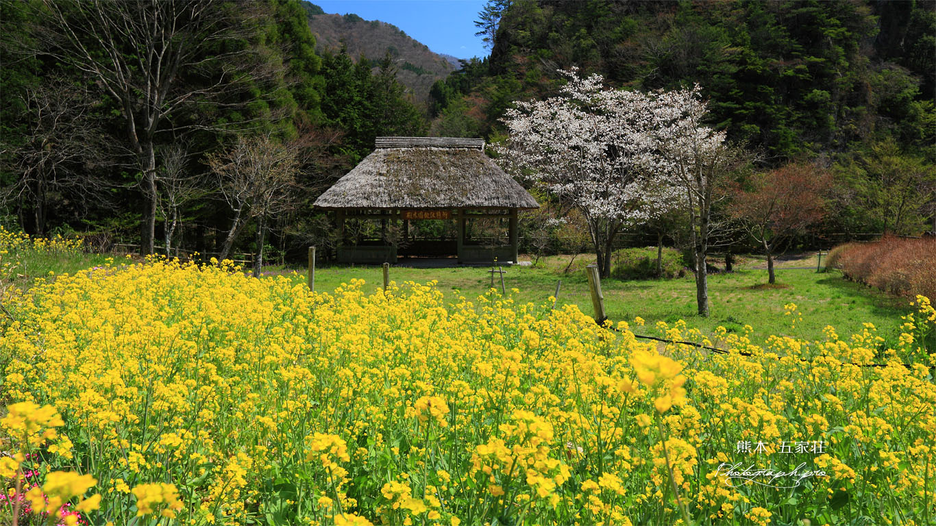 五家荘樅木園地の菜の花と桜 壁紙