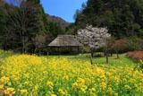 五家荘樅木園地の菜の花と桜