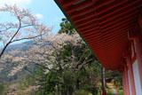 五家荘平家の里の山桜
