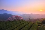 朝陽と遠山桜