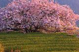 八重咲きの遠山桜