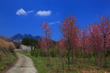 南阿蘇の桜苗木林