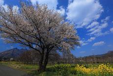 阿蘇山の桜