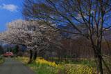 前原の山桜