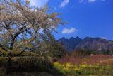 桜に菜の花畑と根子岳