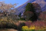 阿蘇の桜と鯉のぼり