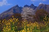 菜の花と桜越しの根子岳