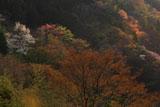 夕照の山肌に咲く山桜