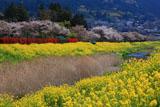 由布院温泉の桜と大分川の菜の花
