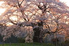 岡山県の桜