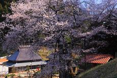 岩井畝の大桜