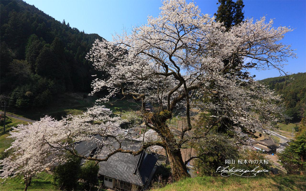桜本寺の大桜 壁紙