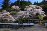 桜本寺のサクラ