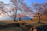 竹田城跡の桜 三の丸の染井吉野