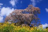佛隆寺の望月桜