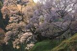 佛隆寺のモチヅキザクラ