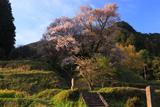仏隆寺のサクラの巨樹