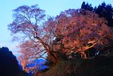 仏隆寺の千年ザクラ