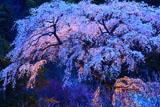 黒船桜ライトアップ