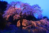 見事な枝ぶりの黒船桜